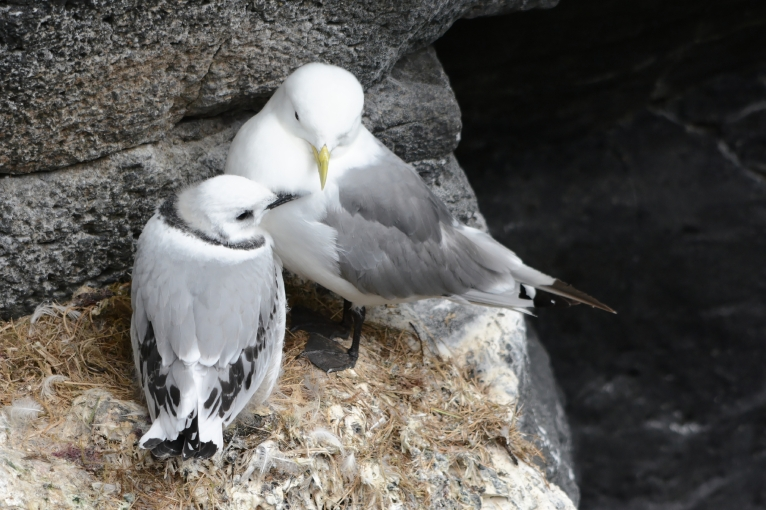 Black-legged kittiwakes nesting in Iceland. Parent (right) with a juvenile chick (left).